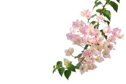 Bougainvilleas isolated on white background. Save with Clipping path .