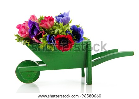Bouquet Anemones in blue and red in wheel barrow isolated over white background