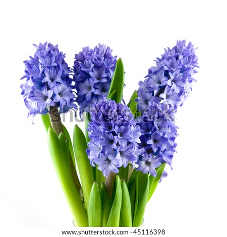 Bouquet blue hyacinth isolated on white background