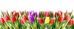 Bouquet color tulip flowers isolated on white background with copy space. Hello spring or holliday floral banner border.