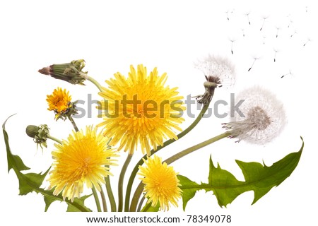 Bouquet from the different dandelions blossoming, yet not dismissed and already faded