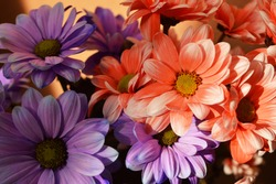 Bouquet of beautiful colorful daisy flower, pink white, purple white, orange white colors. For valentine day.