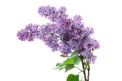 bouquet of beautiful spring flowers of lilac isolated on white background