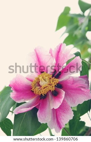 Bouquet of blooming Peony toned, copy space