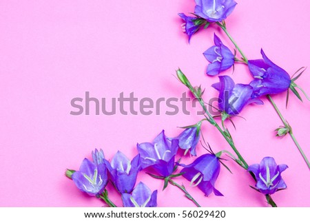Bouquet of campanulas on a pink background