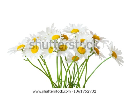 Bouquet of Chamomiles ( Ox-Eye Daisy ) isolated on a white background. Stock foto ©