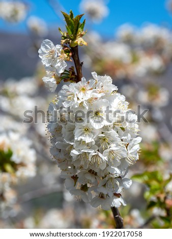 Bouquet of cherry tree's flowers in the Valle of Jerte Stock fotó ©