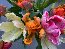 Bouquet of colorful exotic parrot tulips in vibrant pink, orange and yellow colors directly above view, bright beautiful tulips in the spring bouquet isolated on grey