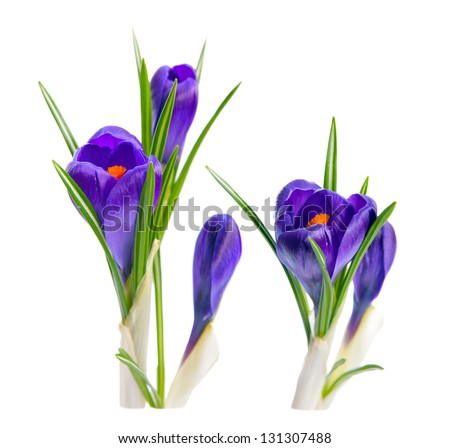 Bouquet of crocuses. Isolated on white background