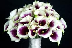 Bouquet of cut Picasso Calla Lily