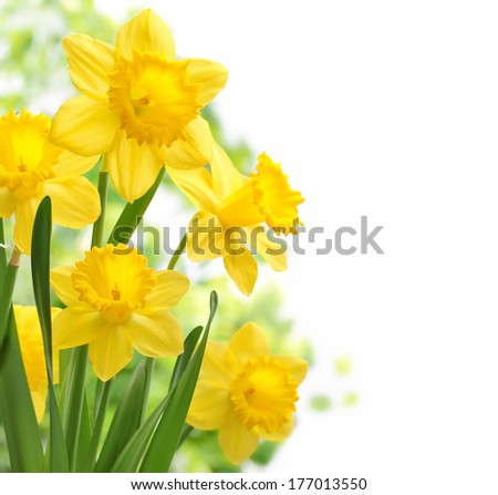 Bouquet of daffodil flowers