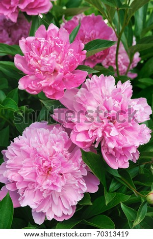 Bouquet of fresh pink peonies - stock photo
