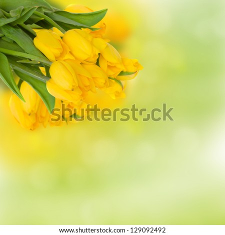 bouquet of fresh yellow tulips  on green background
