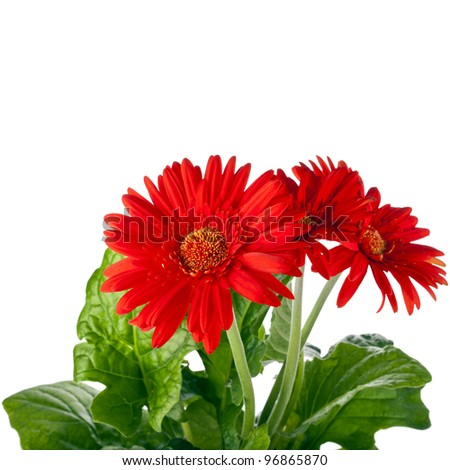 bouquet of gerbera flowers with copyspace on white background