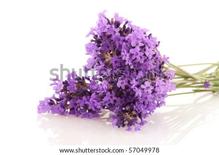 Bouquet of Lavender sprigs isolated over white
