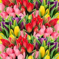 bouquet of multicolor tulips. fresh spring flowers with water drops. floral backdrop