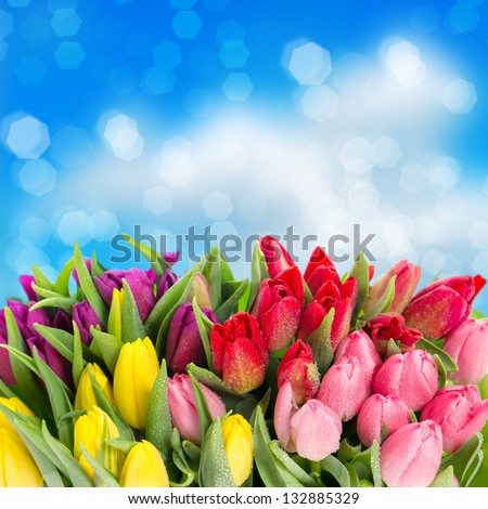 bouquet of multicolor tulips fresh spring flowers with water drops over blue blurred background floral backdrop