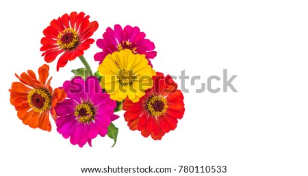 bouquet of multicolored zinnia flowers isolated on a white background