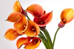 Bouquet of Orange Calla lily (Zantedeschia aethiopica, Arum lily, Varkoor) over white background