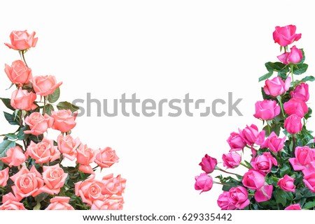 Bouquet Of Peach Color Or Light Orange Pink Roses Flower Decorative At Border Corner Isolated On