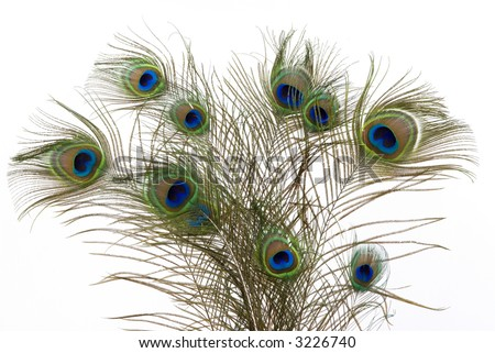 Bouquet of peacock feathers - stock photo