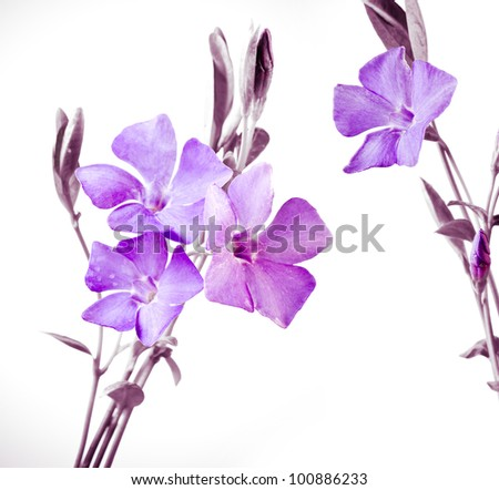 bouquet of periwinkle