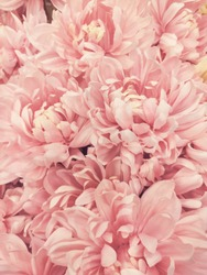 Bouquet of pink blooming dahlias.