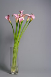 Bouquet of pink calla lilies in glass vase on gray background, greeting or gift concept, selective focus