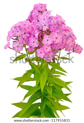 Bouquet of pink phlox isolated on white background