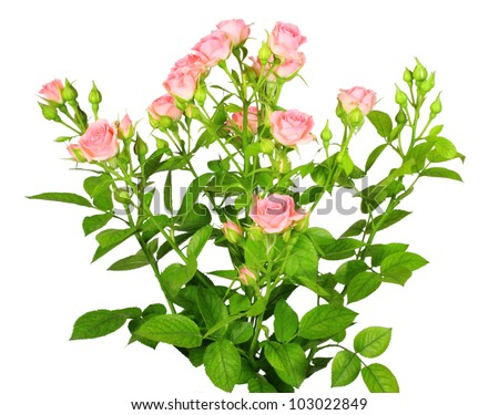 Bouquet of pink roses with green leafes. Isolated on white background. Close-up. Studio photography.