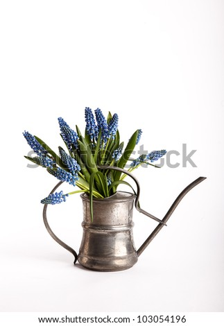 Bouquet of pretty blue grape hyacinths in an antique pewter watering can isolated on white