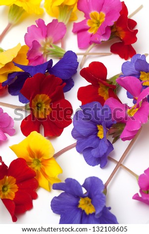 bouquet of primula flowers isolated on white background