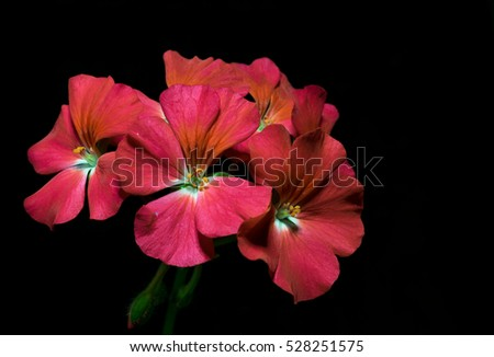 bouquet of red geranium flowers on black background #528251575