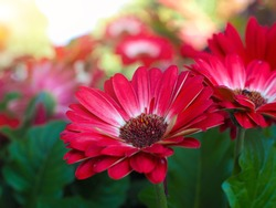 Bouquet of red gerberas with morning light in the garden,Red Gerbera flowers