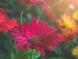 Bouquet of red gerberas with morning light in the garden,Red Gerbera flowers. Dark tone and soft focus