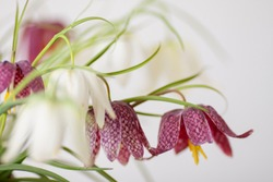 Bouquet of snake's head fritillary, Fritillaria meleagris or wild Chess Flower studio photo