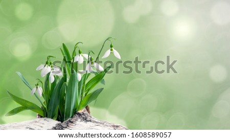 Photo of  Bouquet of snowdrops-the first spring flowers, on a light plain background. A flower symbolizing the arrival of spring. Copy space