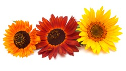 Bouquet of sunflowers flowers red and yellow isolated on white background. Flat lay, top view
