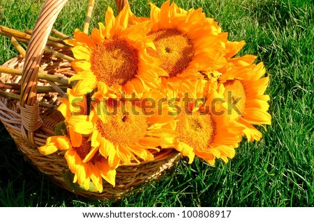 bouquet of sunflowers with water droplets  in a basket on a green grass