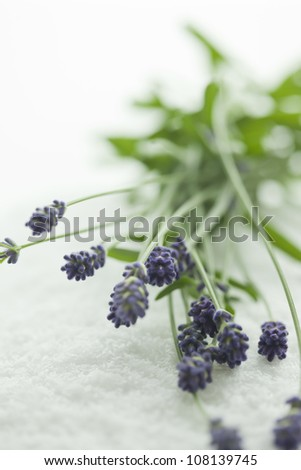 Bouquet of the lavender - stock photo