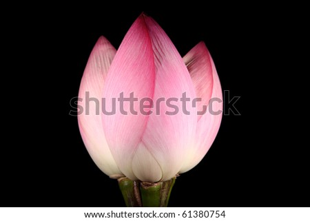 Bouquet of three Lotus flowers, isolated on black background