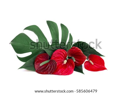 Bouquet of tropical leaf Monstera and red flowers Anthurium (tailflower, flamingo flower, laceleaf) on a white background with space for text