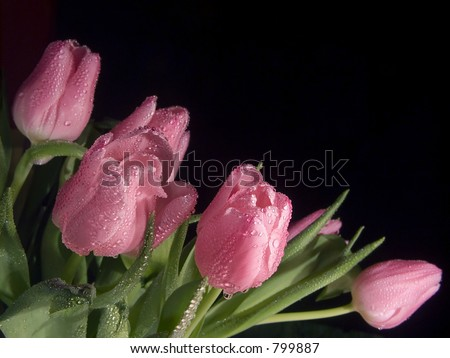 bouquet of wet pink tulips