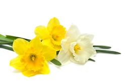 Bouquet of white and yellow narcissus on white background