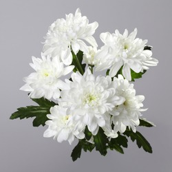 bouquet of white chrysanthemum on gray background