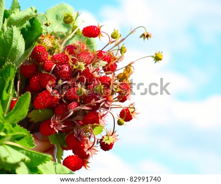 Bouquet of wild strawberries with green leaves on blue sky background