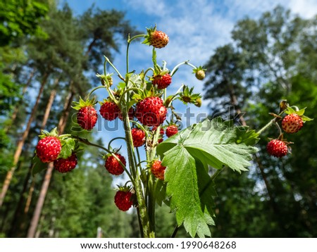 Bouquet of wild strawberry (Fragaria vesca) plants with red ripe fruits and foliage outdoors with forest and blue sky bacground in sunlight. Taste of summer Photo stock ©