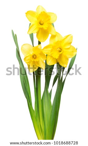 Bouquet of yellow daffodils flowers isolated on white background. Flat lay, top view