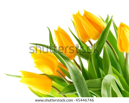 Bouquet of yellow tulips in the bottom right corner. Isolated on white background.