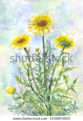 Bouquet of yellow wild chamomiles. Watercolor illustration, summer background